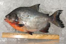 Sc wildlife magazine for South carolina saltwater fish species