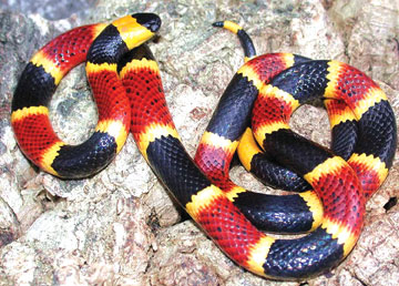 Coral Snake Animalearning