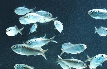 Virginia Institute of Marine Science - Menhaden Background